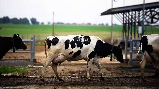 An Israeli export to the east: milking cows